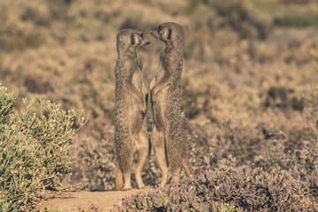 Two meerkats standing in the sun with noses pointing to eachothe