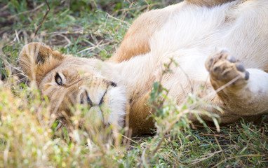 Cute young lion plays in grass at the savannah