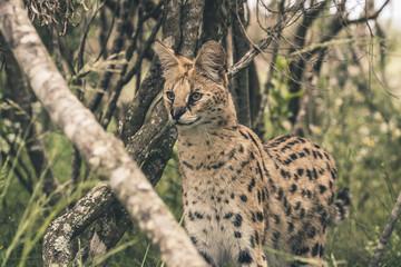 Serval cat standing between bushes. Tenikwa wildlife sanctuary.