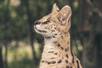 Headshot of serval cat. Tenikwa wildlife sanctuary. Plettenberg