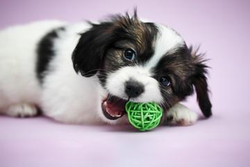 Puppy Papillon biting ball