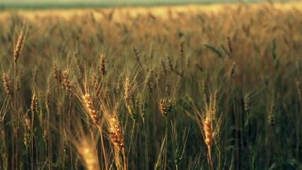 The golden cereals field