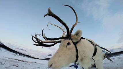 Close up view White Reindeer harnessed tourist sledge winter snow Norway Scandinavia