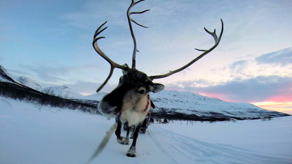 POV Close up Reindeer working tourists sunset snowy landscape Norway