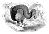 19th century engraving of a dodo bird
