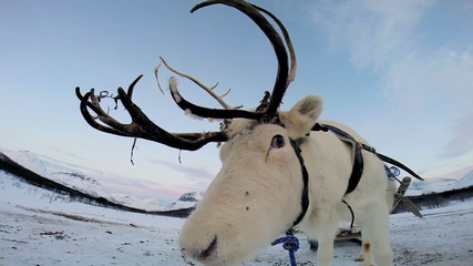 Close up White Reindeer harnessed tourist sledge landscape snow Norway