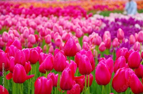 Foto op Canvas Roze 雨上がりのチューリップ畑