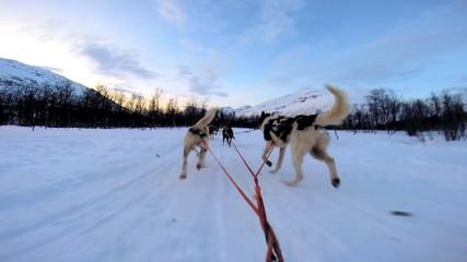 POV Handler with Norwegian husky dog team pulling sled snow covered forest