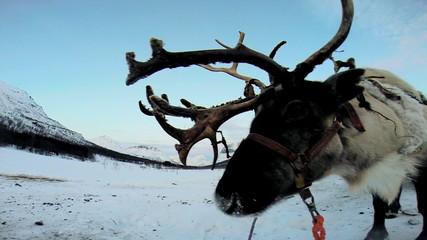 Close up majestic grey horned Reindeer resting tourist sledge ride Scandinavia