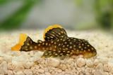 golden nugget pleco catfish Plecostomus L-018