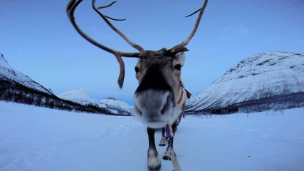 POV Norwegian Sledge Reindeer  animal working pet snow  sunset landscape