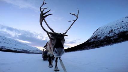 POV Grey Norwegian Reindeer sunset pulling sledge snow covered landscape