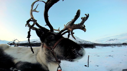 Close up Grey Reindeer resting Nordic winter snow extreme terrain Scandinavia
