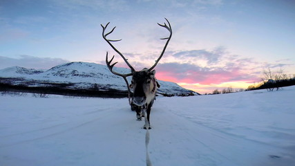POV Norwegian Landscape Reindeer working tourists sunset snow landscape Norway