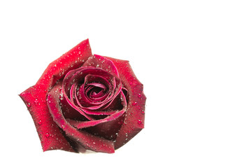 Red rose isolated on white background.