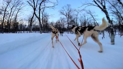 POV Husky dog team animals traversing snow covered winter tree Nordic landscape Norway Scandinavia