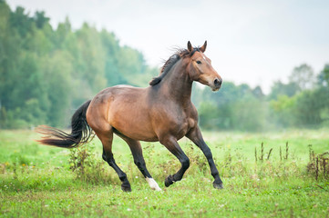Beautiful bay horse running on the pasture in summer