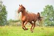 Beautiful red horse running on the pasture in summer - 76960831