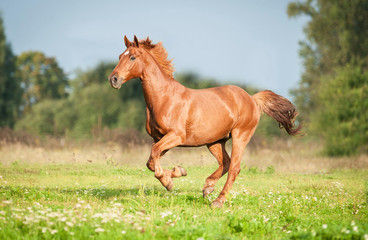 Beautiful red horse running on the pasture in summer