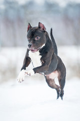 American staffordshire terrier playing in winter