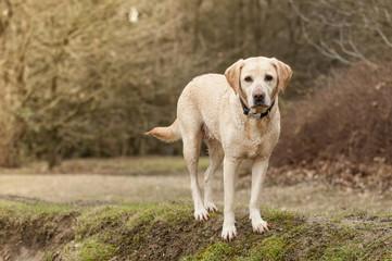 beautiful labrador puppy