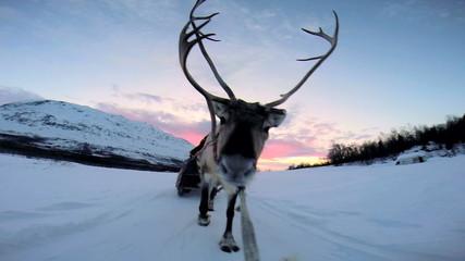 POV Handler sunset Norwegian Reindeer pulling sledge snow Scandinavia