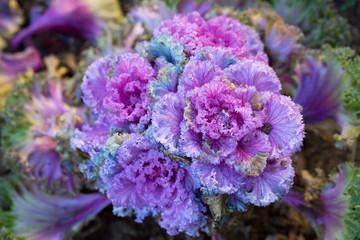 choux ornement - cabbage