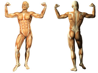 Human Anatomy - Male Muscles
