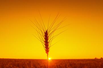 one ear of wheat on orange sunset