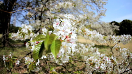 Travel Tourism Shinjuku Gyoen Pink Japanese Cherry Blossom Fruit Tree Tokyo