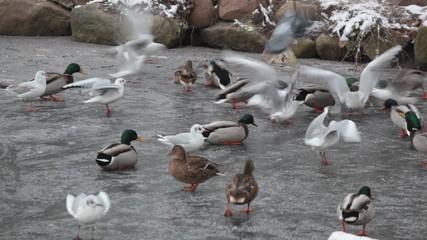 Seagulls and ducks