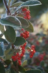 Arbuste à baie rouge sous une gelée hivernale