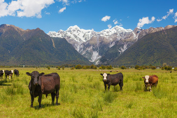 Grazing cows with Southern Alps in the background, New Zealand