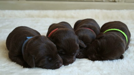 four newborn brown labrador retrievers, two weeks old
