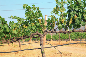 Grape bunch on the vine