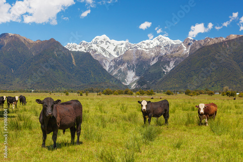 Aluminium Nieuw Zeeland Grazing cows with Southern Alps in the background, New Zealand