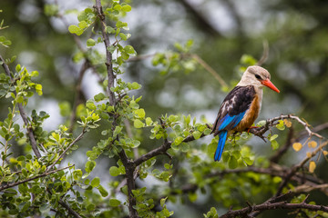 Woodland kingfisher in Lake Manyara national park, Tanzania