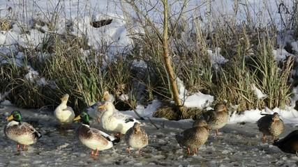 Viele Stockenten im Winter
