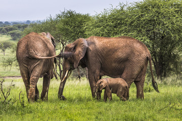 Mother and baby african elephants walking in savannah in the Tar
