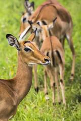 Female impala antelopes in Maasai Mara National Reserve, Kenya.