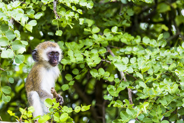 Vervet monkey (Cercopithecus aethiops) sitting in a tree, South