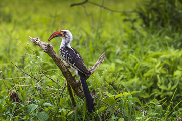 Yellow billed hornbill walking on ground looking and begging for