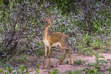 A dik-dik, a small antelope in Africa. Lake Manyara national par
