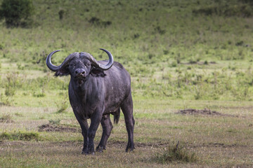 African buffalo (Syncerus caffer) on the grass.
