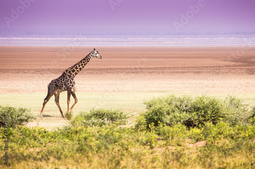 Papiers peints Girafe Giraffes in Lake Manyara national park, Tanzania
