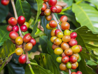 Red coffee beans on a branch of coffee tree, ripe and unripe ber