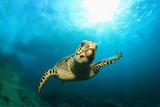 Fotoroleta Hawksbill Sea Turtle