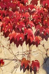 Rote  Weinblätter an einer Hauswand