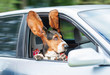 Funny basset hound with ears up driving in a car - 76995650
