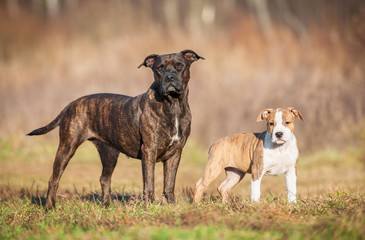 American staffordshire terrier mother with little puppy